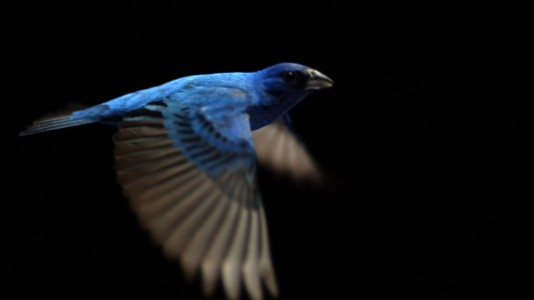 The Messenger (2015) - Indigo bunting