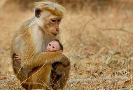 Monkey Kingdom - Maya, Kip